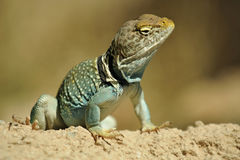 Handsome, Attentive Blue Gold Lizard Stock Images