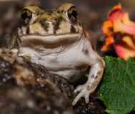 Handsome Backyard Toad Stock Photography