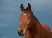 Handsome bay Arabian horse Royalty Free Stock Photography