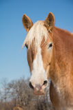 Handsome Belgian Draft horse head on Royalty Free Stock Image
