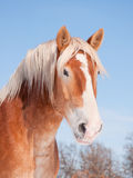 Handsome Belgian draft horse with snow on his muzzle Royalty Free Stock Images