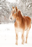 Handsome Belgian Draft horse in winter Stock Photos