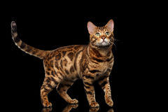 Handsome Bengal Male Cat Standing, Looking up, Isolated Black Background Royalty Free Stock Image