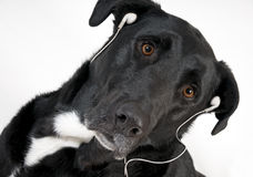 Handsome black dog with headset listening to music. Close up of handsome black dog with brown eyes and earphones on listening to music Stock Photography