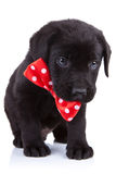 Handsome black puppy royalty free stock photos