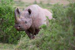 Handsome Black Rhino Royalty Free Stock Photos