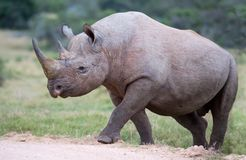Handsome Black Rhino Royalty Free Stock Image