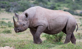 Handsome Black Rhino Stock Photo