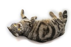 Handsome black silver tabby British Shorthair cat laying down hanging over edge isolated on white background royalty free stock photography