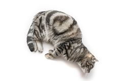 Handsome black silver tabby British Shorthair cat laying down hanging over edge isolated on white background stock images