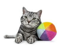 Handsome black tabby British Shorthair cat with green eyes laying down with colorful toy ball from sorft material looking at lens royalty free stock images