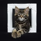 Handsome black tabby Maine Coon cat. / kitten laying in white photo frame isolated on black background royalty free stock photo