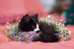 Handsome black and white cat covered in silver tinsel - a Christmas kitty. Pink background royalty free stock photos