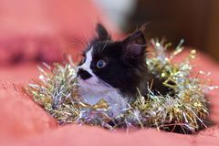 Handsome black and white cat covered in silver tinsel - a Christmas kitty royalty free stock images