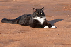 Handsome black and white tuxedo cat Royalty Free Stock Photo