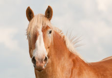 Handsome blond Belgian draft horse looking at the viewer Stock Photography