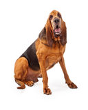 Handsome Bloodhound Dog Sitting. A handsome Bloodhound dog sitting looking into the camera Royalty Free Stock Photography