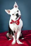 Handsome Boston Terrier Royalty Free Stock Images