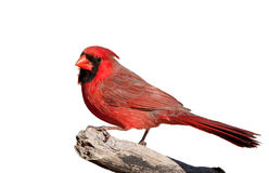 Handsome bright red Northern Cardinal male, isolated on white Royalty Free Stock Photo