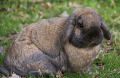 HANDSOME BROWN LOP BUNNY. Brown and black rabbit with floppy ears is a small breed of lop bunny Stock Photo