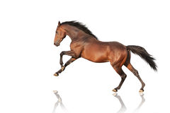Handsome brown stallion galloping, jumping. Stock Photography