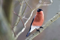 Handsome bullfinch Royalty Free Stock Photos