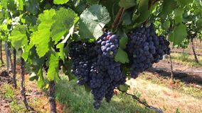 Handsome bunches of dark vine grape with few coloured berries