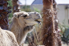 Handsome camel Stock Photos
