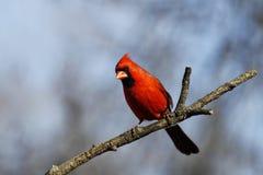 Handsome Cardinal Stock Photos