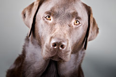 Handsome Chocolate Labrador Royalty Free Stock Image
