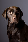 Handsome Chocolate Labrador against Grey Royalty Free Stock Images