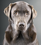 Handsome Chocolate Labrador against Grey Backgroun Stock Images