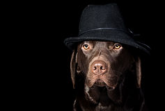 Handsome Chocolate Labrador in Black Hat Stock Photos