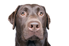 Handsome Chocolate Labrador Head Stock Images