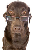 Handsome and Clever Labrador in Glasses Stock Image