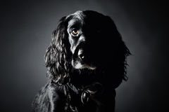 Handsome Cocker Spaniel Stock Images