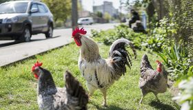 Handsome colorful rooster and chickens on the farm near the road with car on the background. Beautiful chicken stock photography