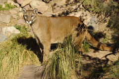 Handsome Cougar / Mountain Lion in the Desert Stock Photo