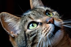 A handsome and curious a with beautiful eyes. Beautiful and curious cat with beautiful eyes looking at something on a black background Stock Photos