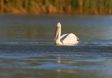 A handsome Dalmatian Pelican royalty free stock image