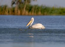 A handsome Dalmatian Pelican is swimming stock photos
