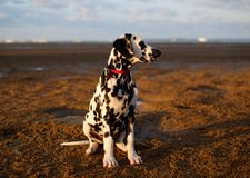 Handsome dalmatian puppy on the sand Royalty Free Stock Photos