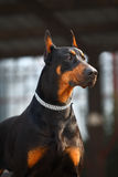 Handsome doberman dog Stock Photos