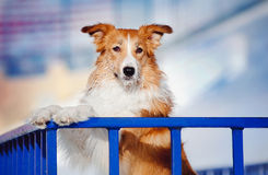 Handsome dog border collie in winter Stock Photography