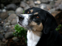 Handsome Dog Profile royalty free stock images