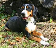 Handsome Dog by Woodpile. Handsome Swiss Mountain Dog poses by woodpile Royalty Free Stock Photos
