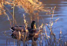 He hid in the reeds. Handsome drake looks from the reeds to the photographer with suspicion Royalty Free Stock Images
