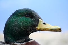 Handsome Duck. Head of Mallard Duck Stock Image