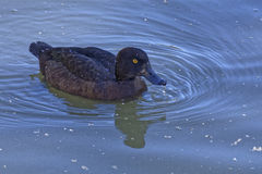 Handsome duck Stock Photography