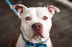 Pit Bulls and Bow Ties. Handsome dude the rescue pit bull waits patiently for a treat while showing off his beautiful blue bow tie Royalty Free Stock Photos